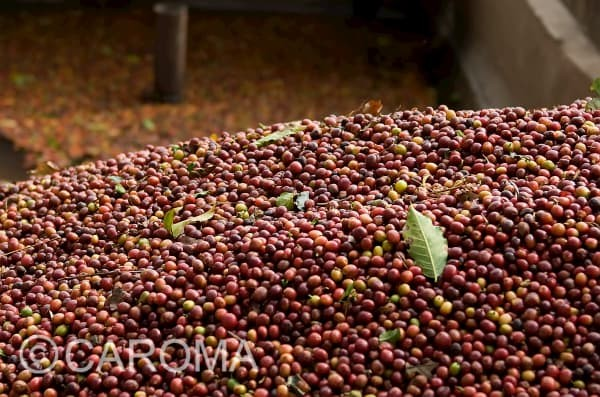 CAROMA_Bio_Fairtrade_Kaffeekirschen_Sammlung_600x600
