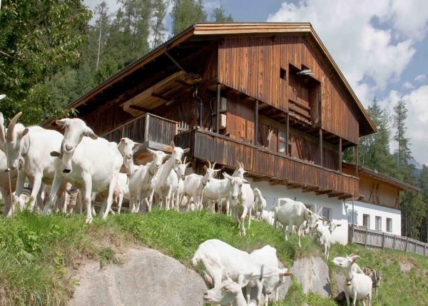 Kleinstahlhof-Ziegenherde-quer